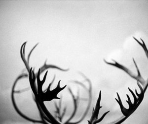 deer, black and white, and antlers image