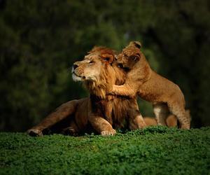 nature, animal, and lion image
