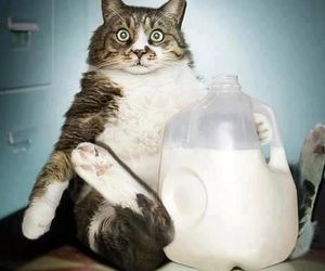 cat, milk, and funny image
