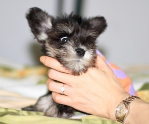adorable, black, and doggie image