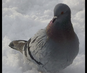 pigeon, snow, and rock dove image