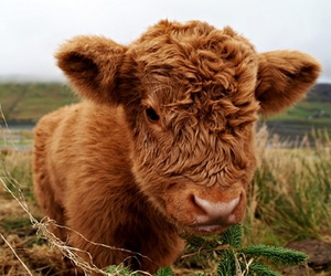 cute, animal, and cow image