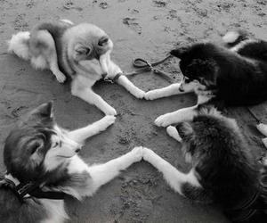 black and white, puppy, and wolves image