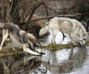 forest, wolf, and happiness image