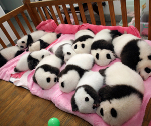 panda, cute, and baby image