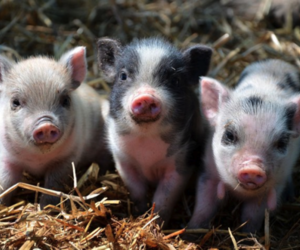 bff, pretty, and pigs image