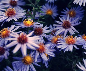 autumn, purple, and flowers image