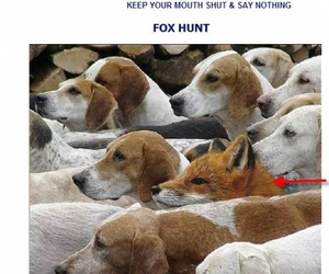 dogs, fox, and fox hunt image