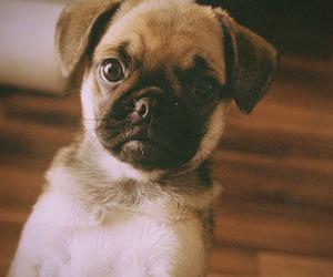 dog, pug, and puppy image