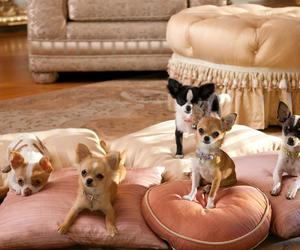 chihuahua, five, and luxury image