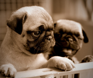 dog, dogs, and pugs image