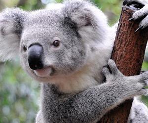 animal, Koala, and australia image