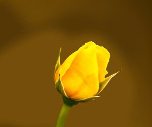 color, rose, and yellow image