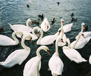 animals, photography, and Swan image