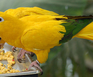 parrot and golden conure image