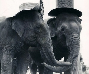 beauty, black and white, and elephants image