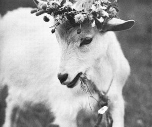 goat, flowers, and animal image