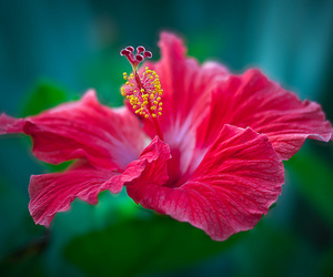 flower, hibiscus, and red image