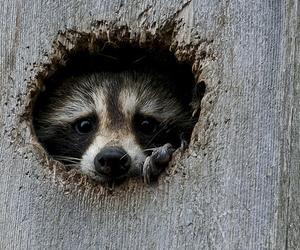animal, cute, and raccoon image
