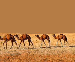 desert and camels image