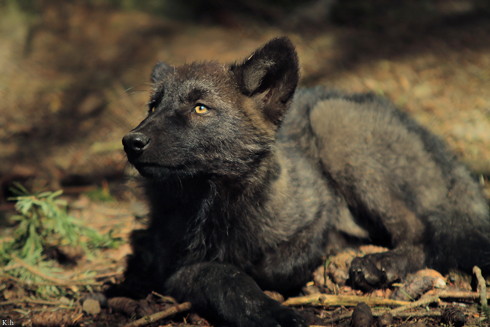 113 images about black wolves on we heart it see more about wolf 113 images about black wolves on we heart it see more about wolf animal and black sciox Images