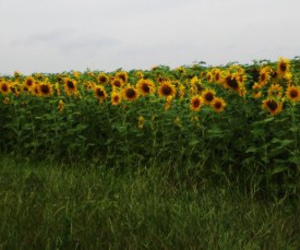 August and sunflowers image
