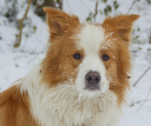 border collie, dog, and inverno image