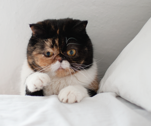 calico, cat, and exotic shorthair image