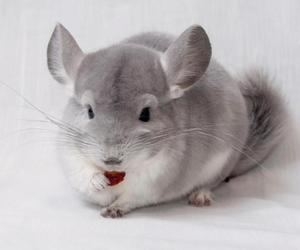 black and white, photography, and Chinchilla image
