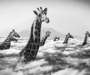 giraffe, clouds, and black and white image