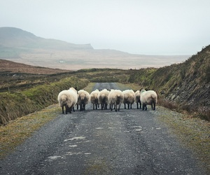 sheep, animal, and nature image