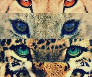 eyes, animal, and tiger image