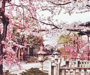 cherry blossoms, pretty, and japan image
