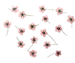 flowers, pink, and transparent image