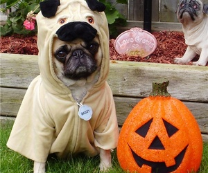 pug, Halloween, and costume image