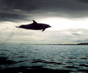 dolphin, gray, and ocean image
