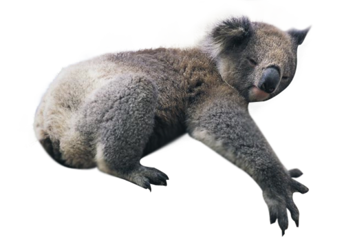Koala Via Tumblr Discovered By Rochelle Goyle