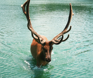animal, water, and deer image