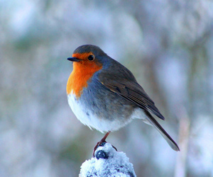 bird, winter, and robin image
