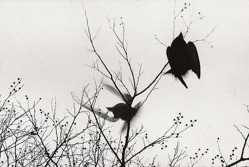 birds, branches, and black and white image