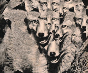 wolf, fox, and animal image