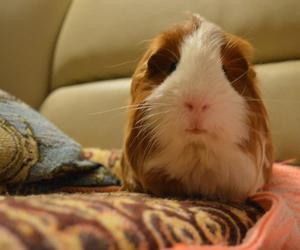 animal, guinea pig, and orange image