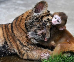 monkey and tiger image