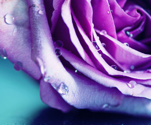 flower, purple, and rose image