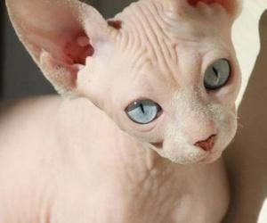 cat, animal, and sphynx image
