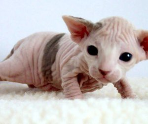 bald, fucking cute, and cat image