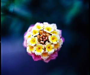 flower and Lantana image