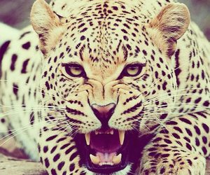 animal, leopard, and wild image