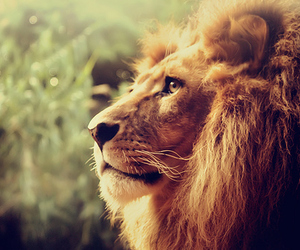 awesome, photography, and lion image