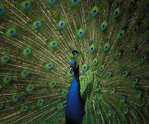 blue, green, and peacock image